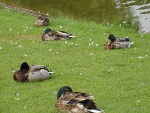 Enten im Park kleiner